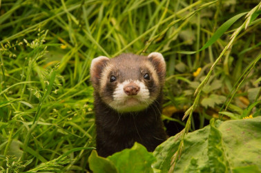 Your Baby Ferret: How to Take Care of This Little Carpet Shark